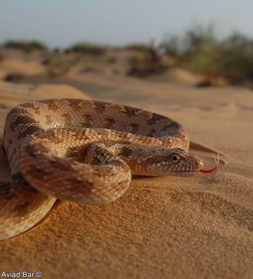 מטבעוןמדבר–Spalerosophisdiadema