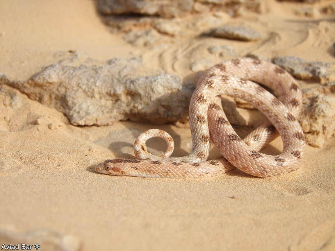 נחש חולות–Lytorhynchusdiadema