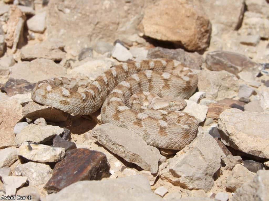 הנחשים הכי ארסיים בישראל