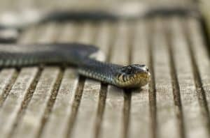 מלכודתנחשים